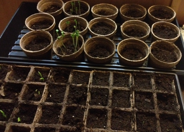 Radishes and peas beginning to sprout